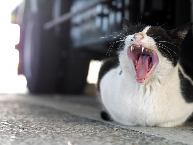 右向いて欠伸する黒白猫3