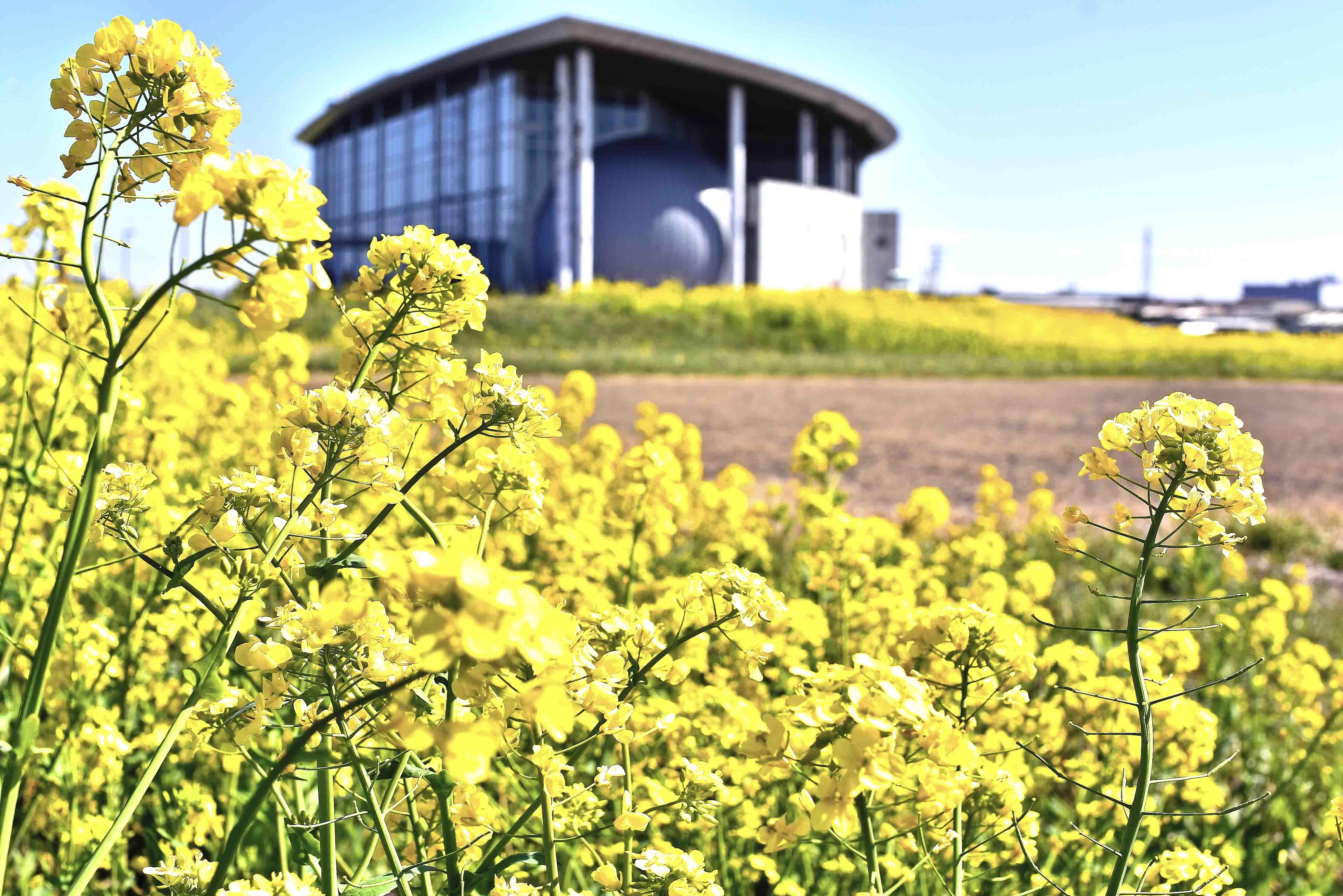 菜の花と未来館
