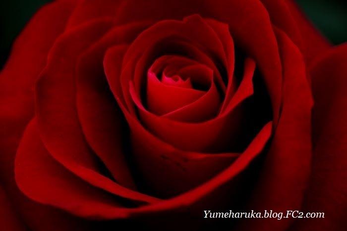 DSCF8706赤いバラa